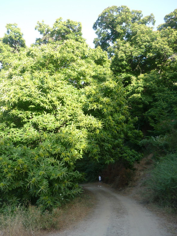 4chestanut-tree