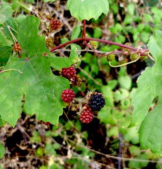 wild-grapes